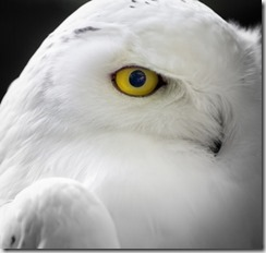 1404831_snow_owl_-_eye