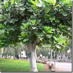 Ficus Iyrata rinconcitocanario.com